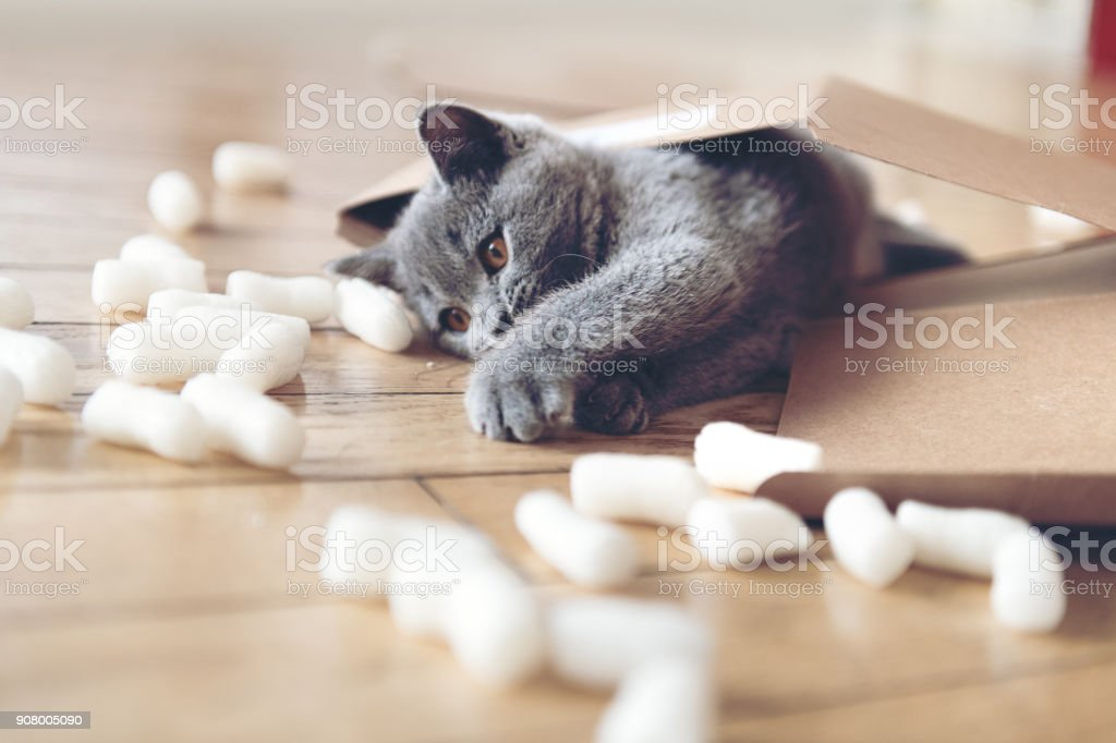 Kitten playing with packing peanuts stock photo