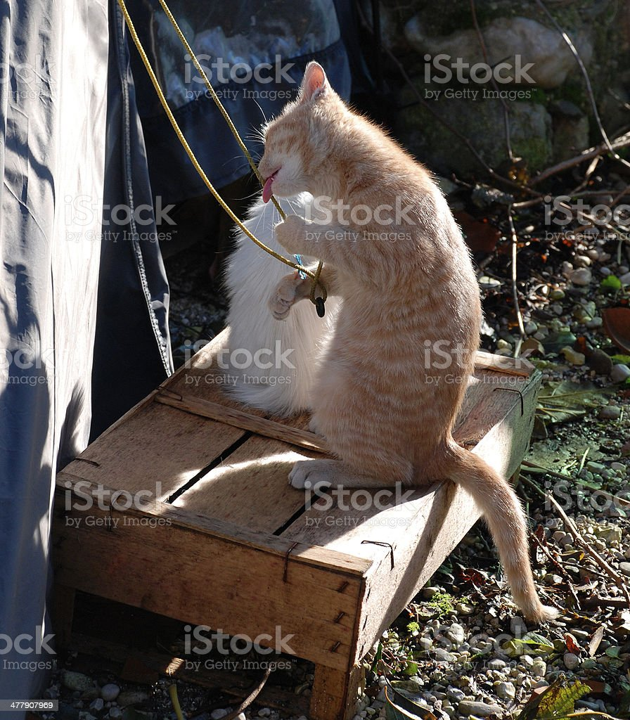 Kitten Playing with Tent Rope stock photo