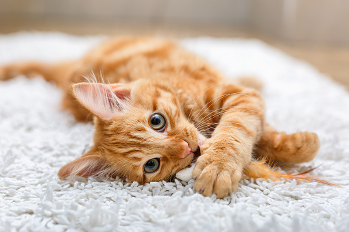 Kitten Playing With Toy Mouse Stock Photo - Download Image Now