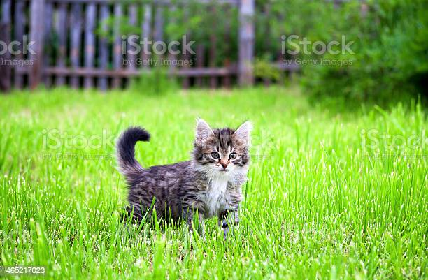 Kitten plays in a green grass picture id465217023?b=1&k=6&m=465217023&s=612x612&h=ippcfpimspktt qeqs9ims7cerjkhxusikg6 jucnoy=