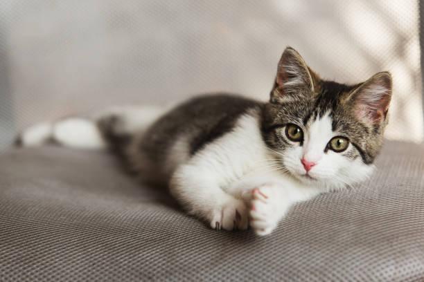 Kitten relaxing on sofa picture id866995704?b=1&k=6&m=866995704&s=612x612&w=0&h=aplk2uiwi5ap6hj4ctwbru7hjxuv2tfwtz9err9czc8=