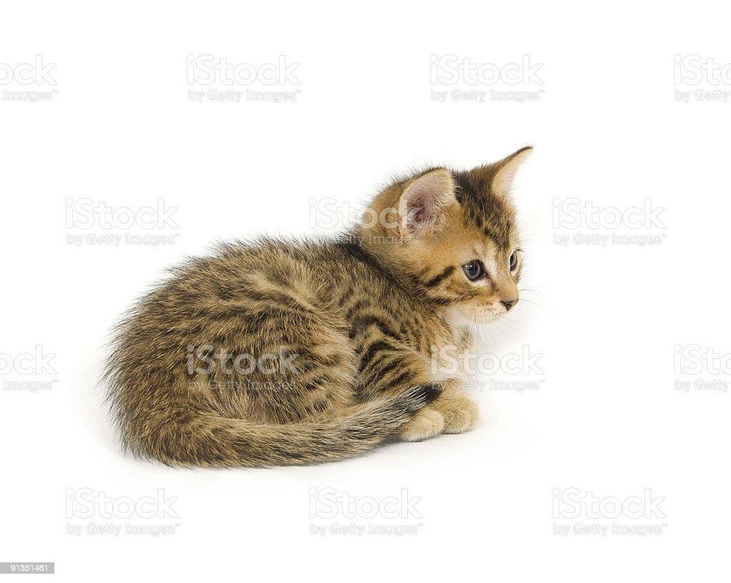 Kitten resting on white background royalty-free stock photo
