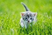 A grey striped kitten runs through the tall grass as she smiles and looks innocently.