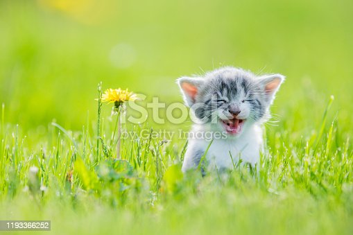 A grey striped kitten runs through the tall grass as she smiles and looks innocently.  A yellow Dandelion can be seen to the left.