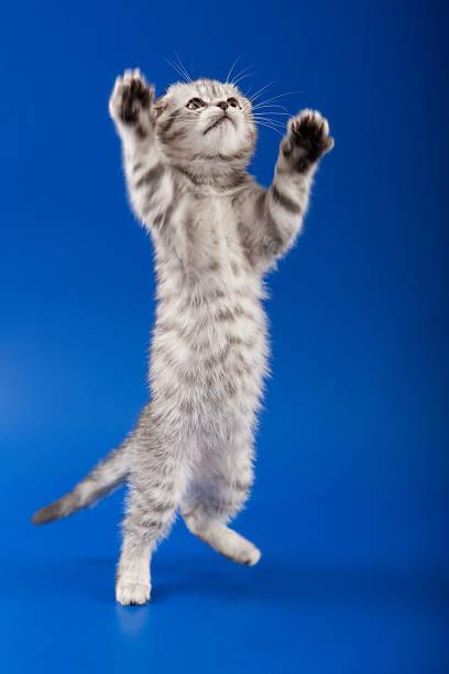 Kitten scottish fold breed picture id166184311?b=1&k=6&m=166184311&s=612x612&w=0&h=yrsjof2jlbtoo3nl7534hxinwxo6el2uo wozv0xwjg=