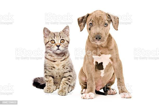 Kitten scottish straight and pitbull puppy picture id598239600?b=1&k=6&m=598239600&s=612x612&h=qhyhtutnuz8b0cltasay48jrucw4w58esmt9mxflwl8=