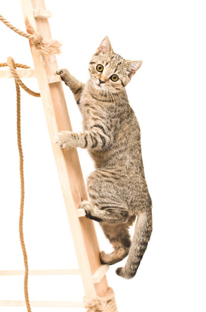 Kitten scottish straight climbing the wooden stairs picture id1010221238?b=1&k=6&m=1010221238&s=612x612&w=0&h=nvcecvfcj4cjmyxhl9bccc3wyllh2 vyapvc0lxhjf8=