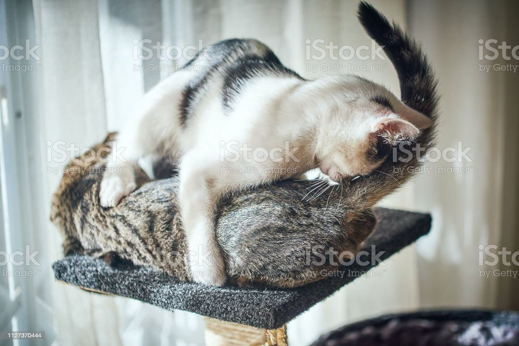 To kittens play with each other on a scratch post