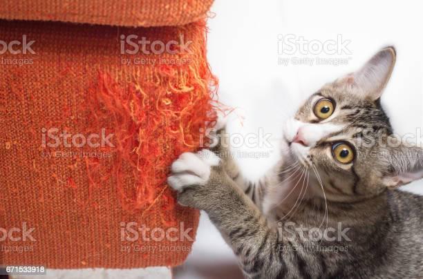 Kitten scratching fabric sofa picture id671533918?b=1&k=6&m=671533918&s=612x612&h=apv1anvnl69sopwrlf  hzwd0s5ifmm2ojrgjhojhkm=