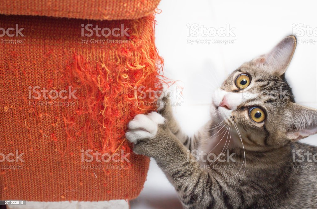 Kitten scratching fabric sofa stock photo