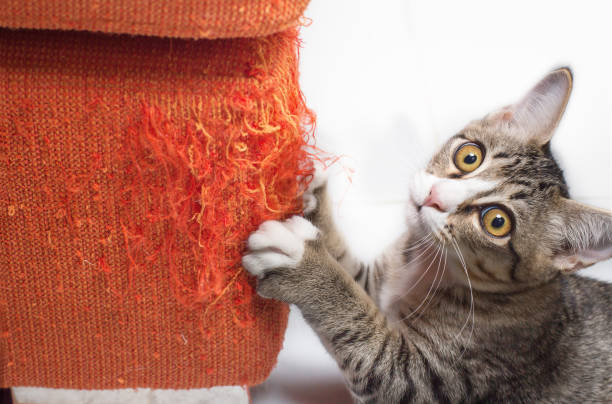 Kitten scratching fabric sofa Kitten scratching fabric sofa on white background claw stock pictures, royalty-free photos & images