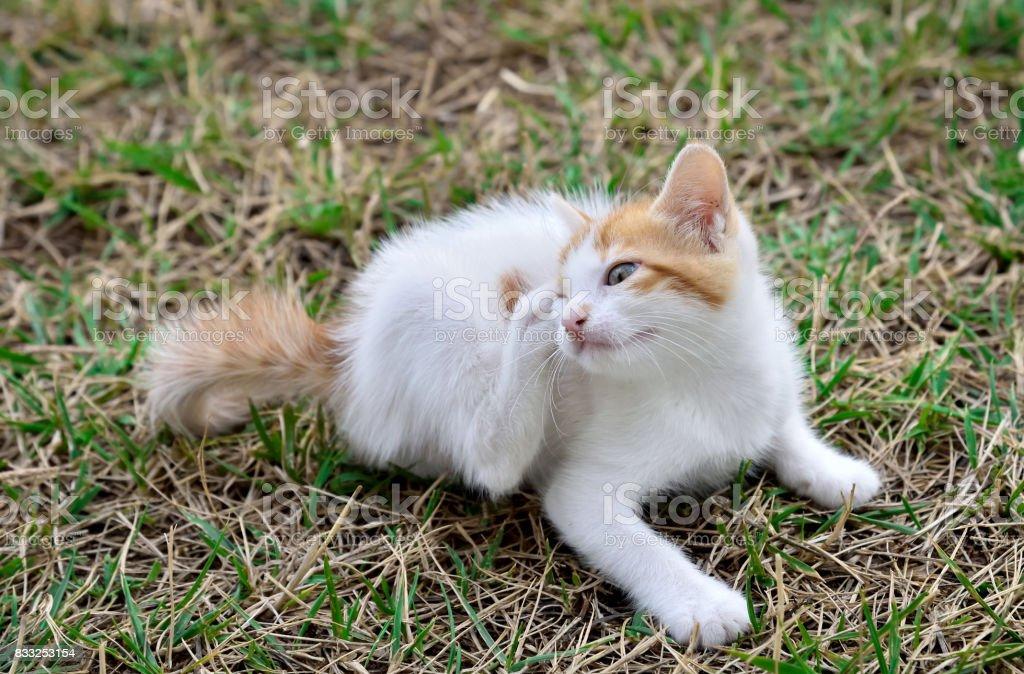 Kitten scratching fleas stock photo