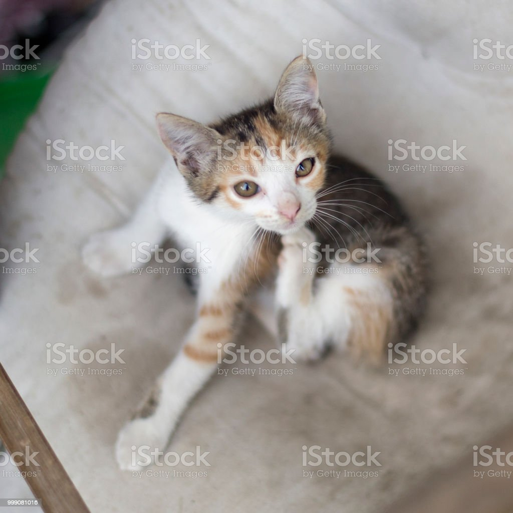 Kitten scratching stock photo