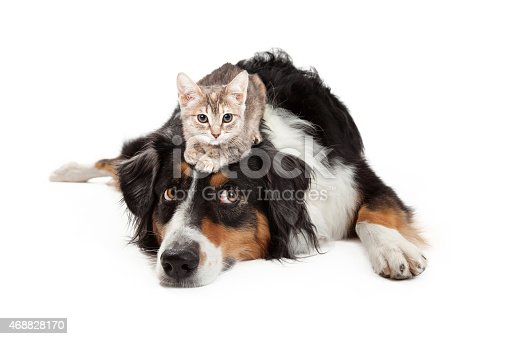 istock Kitten Sitting on Patient Large Dog 468828170