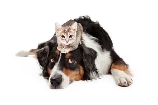A little kitten sitting on the head of a large Shepherd mixed breed dog that is rolling his eyes up with an annoyed expression