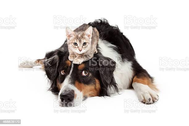 Kitten sitting on patient large dog picture id468828170?b=1&k=6&m=468828170&s=612x612&h=9cqif36eblmcklkym8n zums21j39mgdoqssxaocybi=