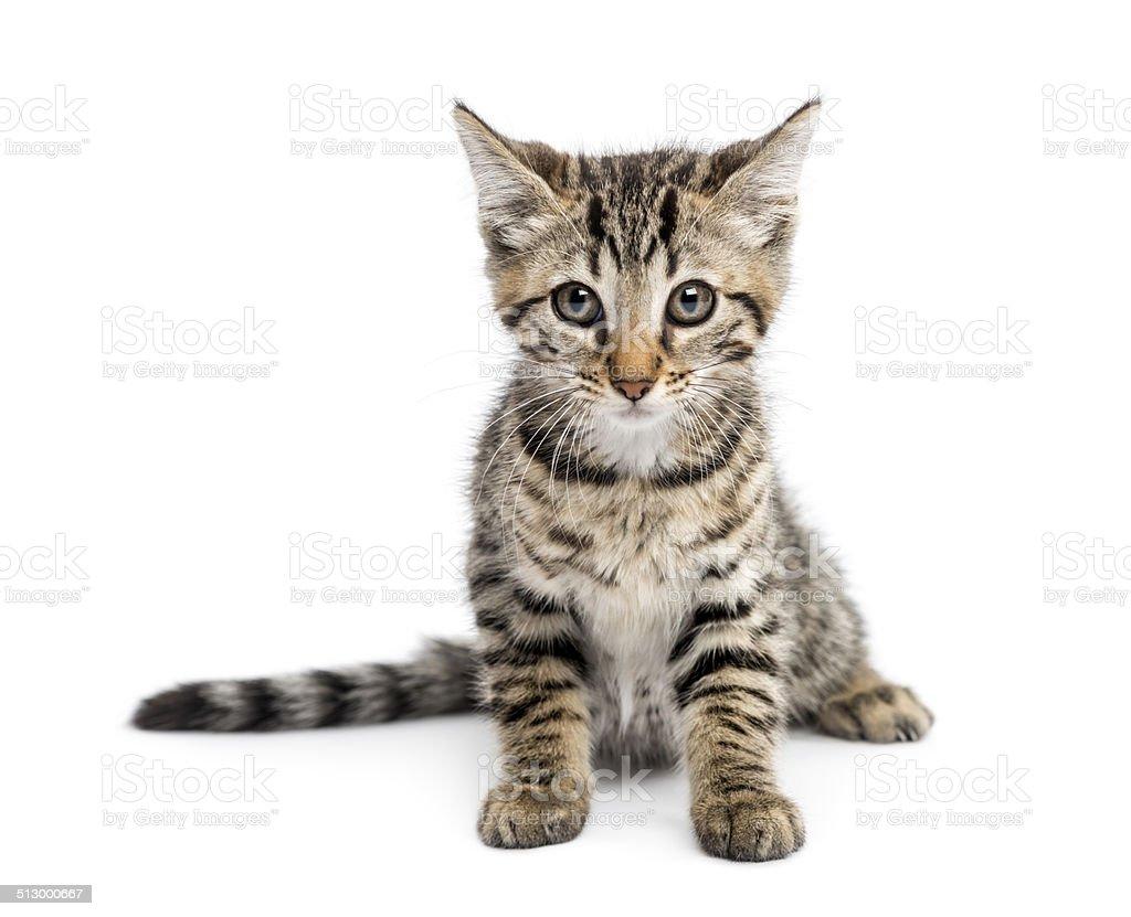Kitten (2 months) sitting stock photo