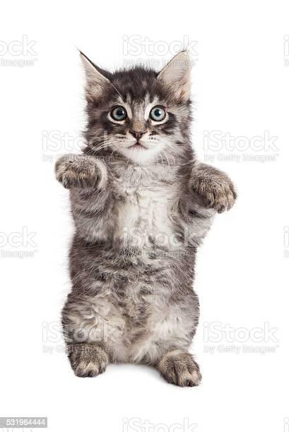 Kitten sitting up raising paws picture id531964444?b=1&k=6&m=531964444&s=612x612&h=c3gktghkkaaiyefj0em8mfy9rrqsxiwbvp flsyef4g=