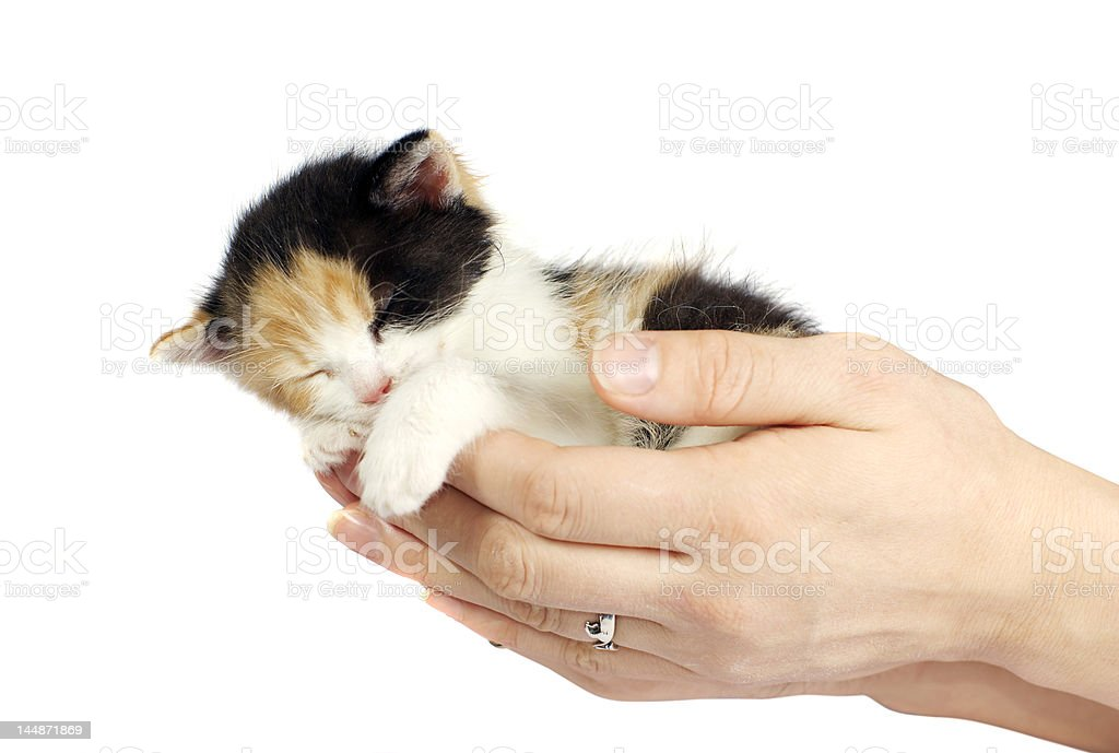 kitten sleeping in hands isolated royalty-free stock photo