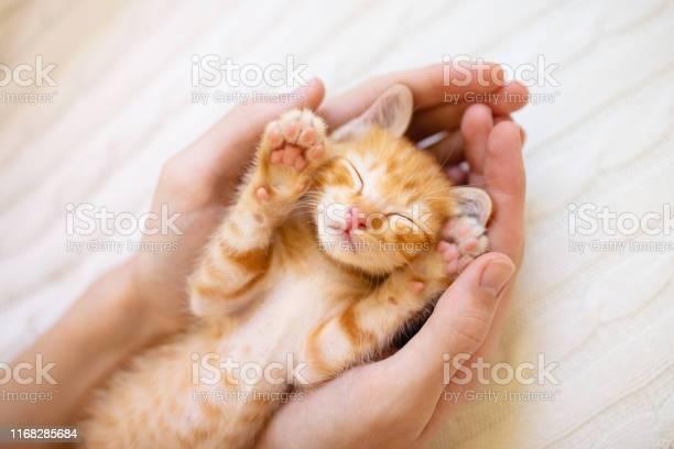 Kitten sleeping in man hands cats sleep picture id1168285684?b=1&k=6&m=1168285684&s=612x612&h=yyfb7gu8sgiqnwca0dsst62kdi igovhoyuqddq1e m=