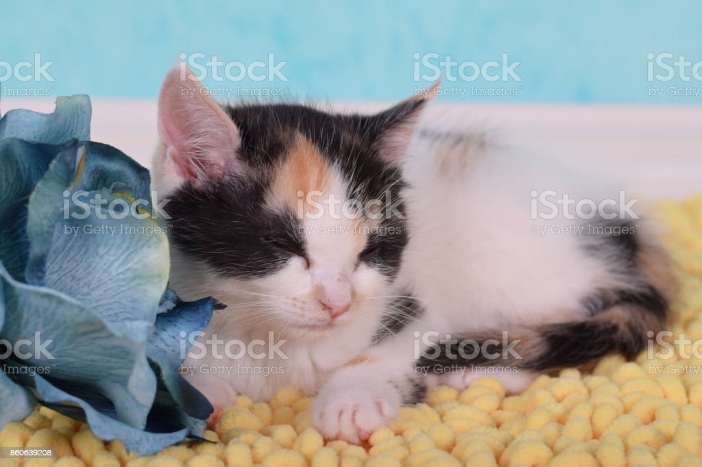 Kitten sleeps next to blue rose stock photo