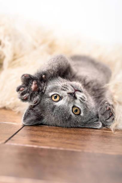 Kitten sleeps on fur picture id944501294?b=1&k=6&m=944501294&s=612x612&w=0&h=hoglo9qpic jjrdqnqrmeu5nadcrq u5qk4xesxwtmu=