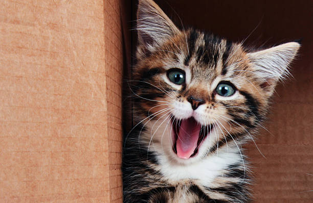 kitten smiling - cute stock pictures, royalty-free photos & images