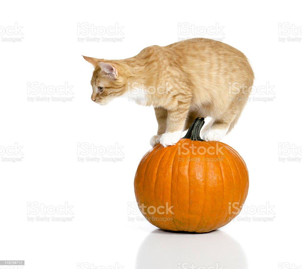 Kitten Standing on a Pumpkin stock photo