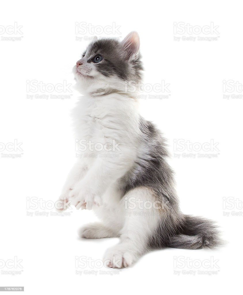 Kitten standing on his hind legs royalty-free stock photo