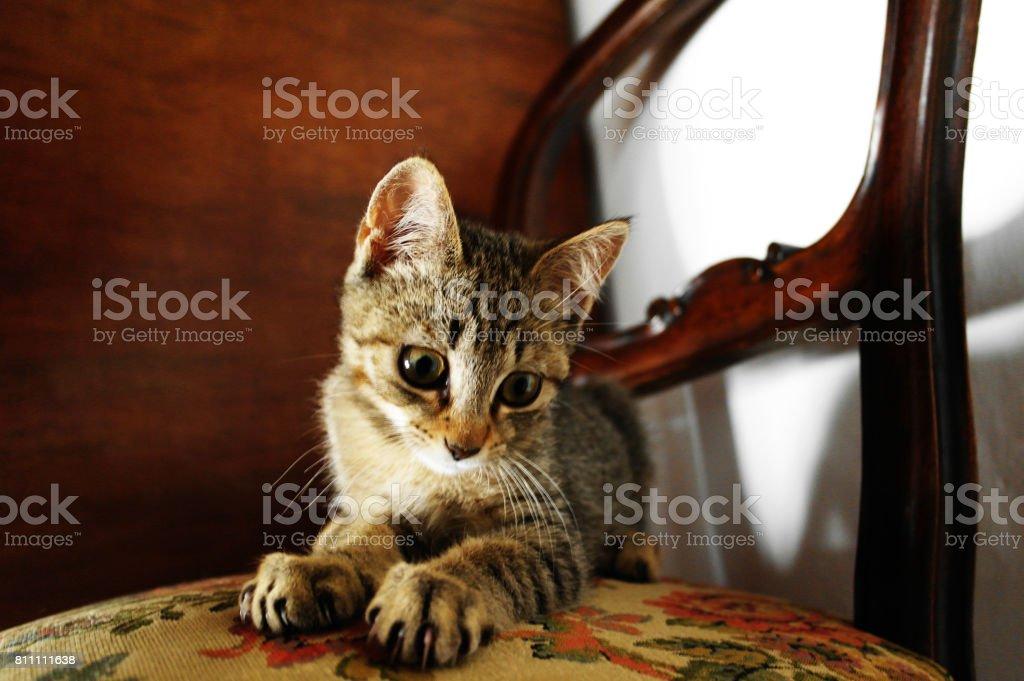 kitten staring at the camera stock photo