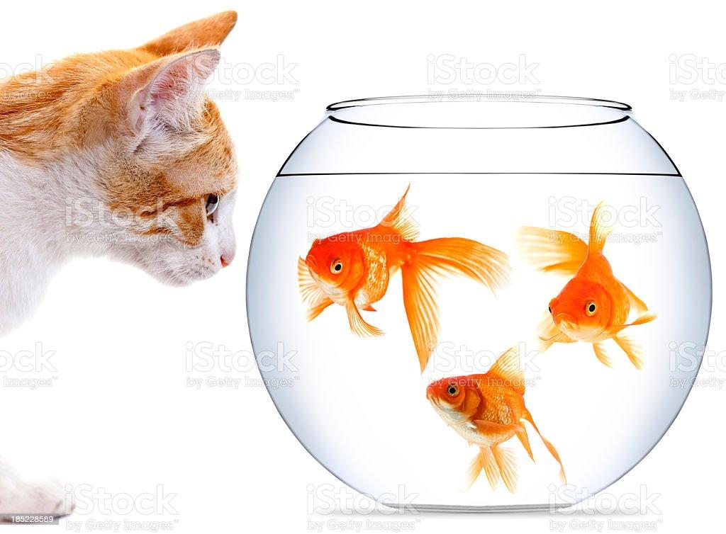 Kitten staring at three goldfish in bowl stock photo