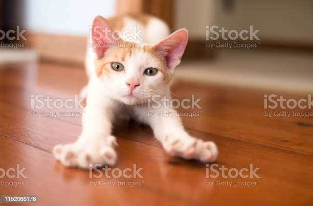 Kitten stretching legs picture id1152068176?b=1&k=6&m=1152068176&s=612x612&h= t7xxsvtvsev3cxnuyl4wqy8 1ckumpxbk agauq3 a=