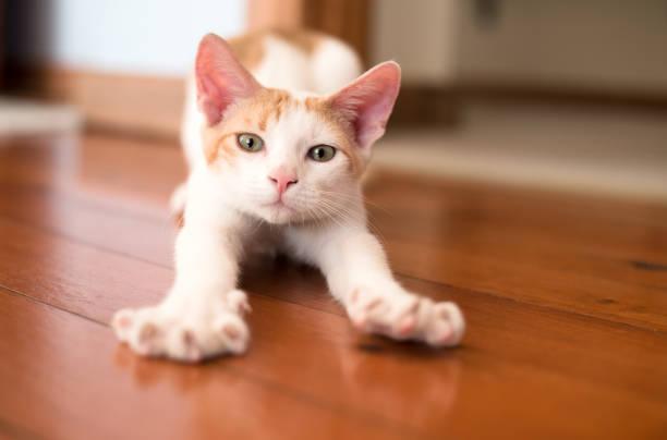 Kitten stretching legs stock photo