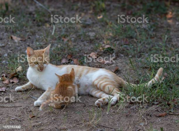 Kitten sucking his mother picture id1070153300?b=1&k=6&m=1070153300&s=612x612&h=qfqj9btezyon50 rvc2tdqjvun2h7xs3jwvykk35kxa=
