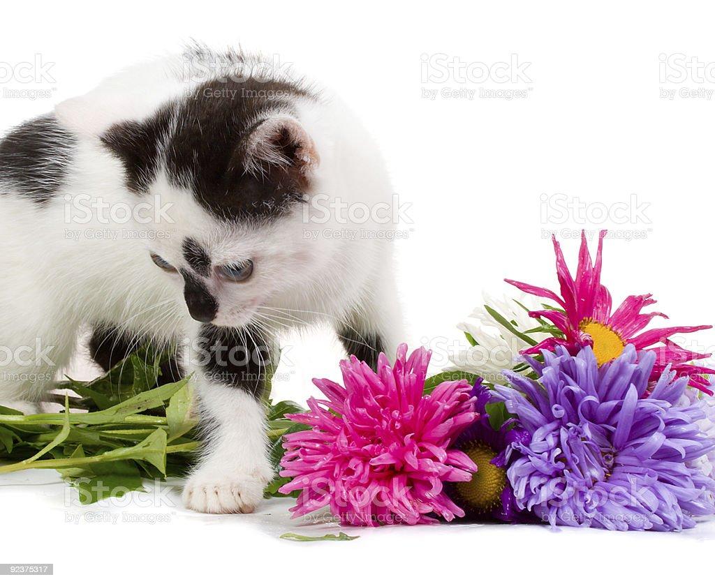 kitten taking aster flowers royalty-free stock photo