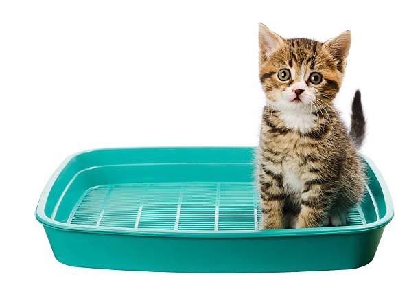 Kitten toilet picture id155378858?b=1&k=6&m=155378858&s=612x612&w=0&h=oksjpdddgjbyjp otqpzj78oar4jstumetnfhtz ik8=