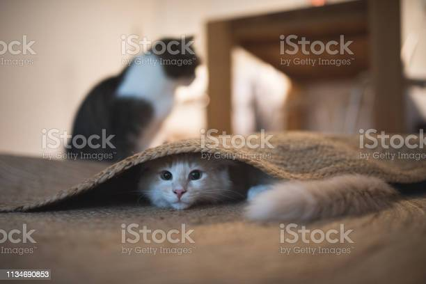 Kitten under the carpet picture id1134690853?b=1&k=6&m=1134690853&s=612x612&h=venjtzzxsanmuqplp4l5tsb5fkrcjiayv63w2kecfv4=