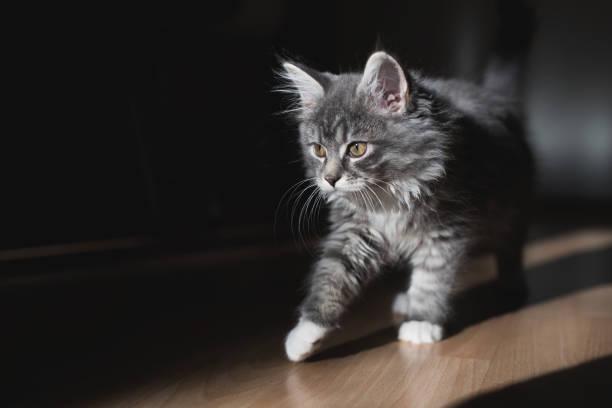 jungtiere gehen in der morgensonne - grau getigerte katzen stock-fotos und bilder