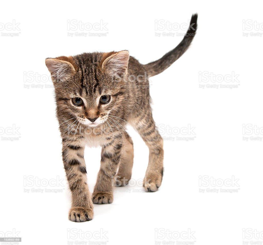 Kitten walks royalty-free stock photo