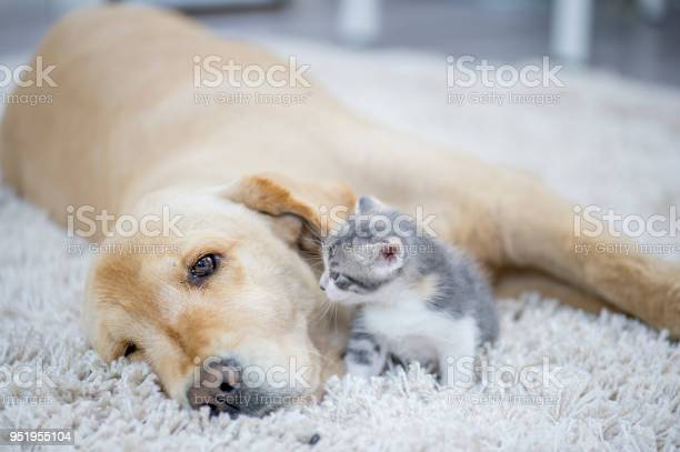 Kitten wanting to play with dog picture id951955104?b=1&k=6&m=951955104&s=612x612&h=7bkos z ku6tstha9oethkmmtn6ndndyay nt9vero8=