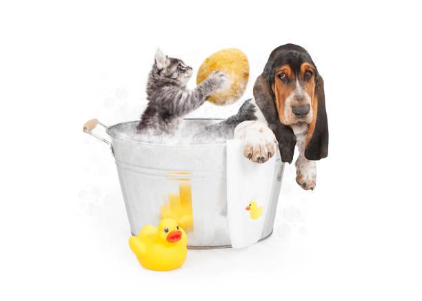Kitten washing basset hound in tub picture id877211522?b=1&k=6&m=877211522&s=612x612&w=0&h=s8lz2ipjhusit7lom3 fzgqq9cibzln09tzkhyb5dnq=
