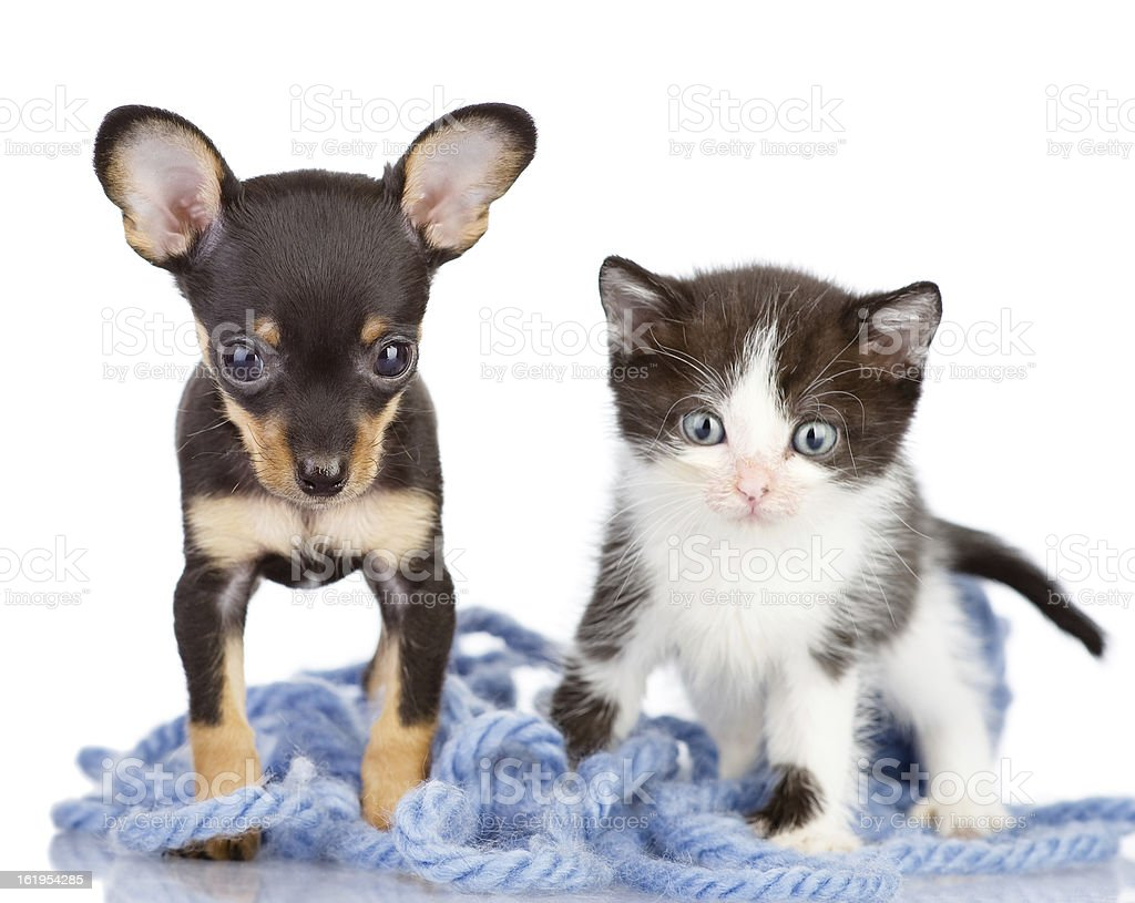 kitten with a puppy looking at camera stock photo