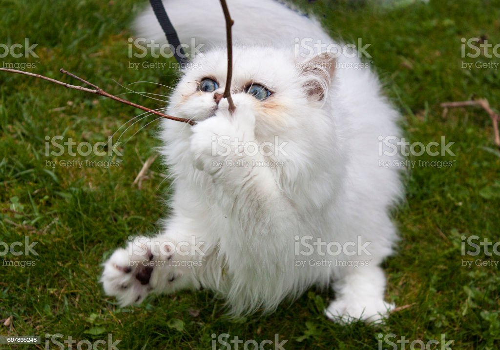 Kitten with attitude royalty-free stock photo