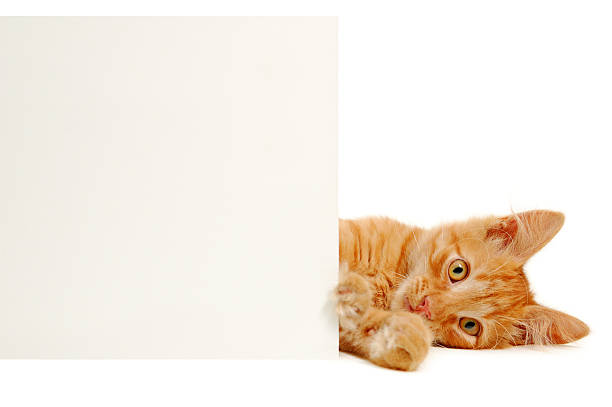 Kitten with banner picture id119187576?b=1&k=6&m=119187576&s=612x612&w=0&h=r5gahjcii1ygyowgzzlv4n635wls6ph5nvjtjopgtqu=