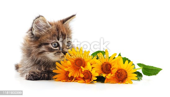 Kitten with daisies isolated on a white background.