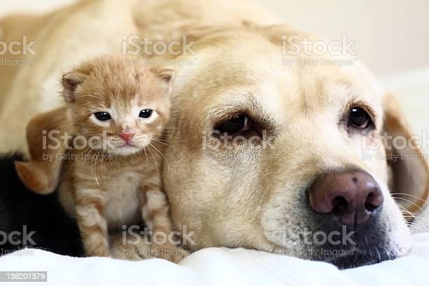 Kitten with dog picture id136201379?b=1&k=6&m=136201379&s=612x612&h=dusql8g0br9ib1ekibqrfaaho4y2e tutbi6xoewepc=
