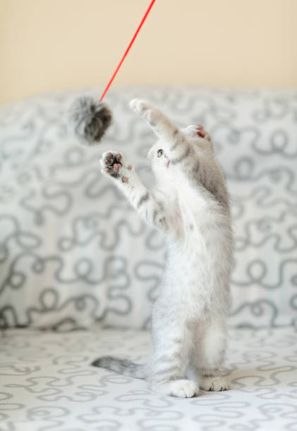 Kitten with graywhite hair play feather toy picture id657846834?b=1&k=6&m=657846834&s=612x612&w=0&h=jp1q4zjuswiuzscryakaqv6ux hnrl5ta0wsxidkefi=