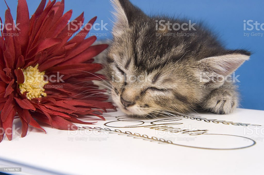 Kitten with guest book and flower royalty-free stock photo