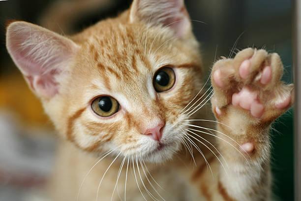kitten with his paw up - sevimli stok fotoğraflar ve resimler