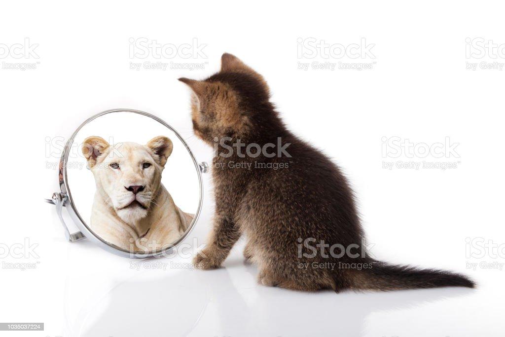 kitten with mirror on white background. kitten looks in a mirror reflection of a lion kitten with mirror on white background. kitten looks in a mirror reflection of a lion Animal Stock Photo